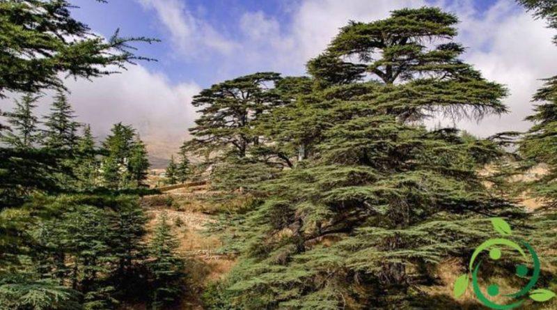 Come coltivare il Cedro del Libano