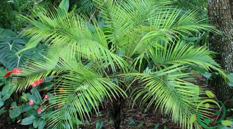 Come coltivare la Palma da cocco nana