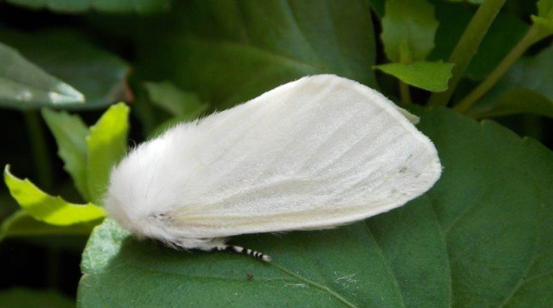 Leucoma salicis