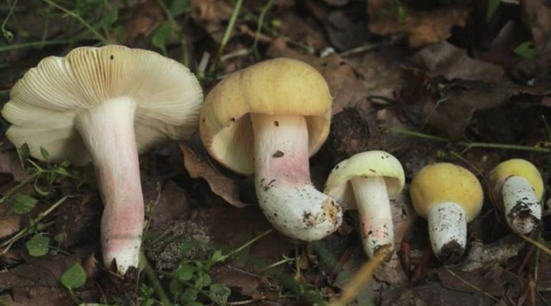 Russula violeipes