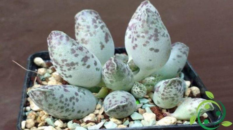 Come coltivare l'Adromischus