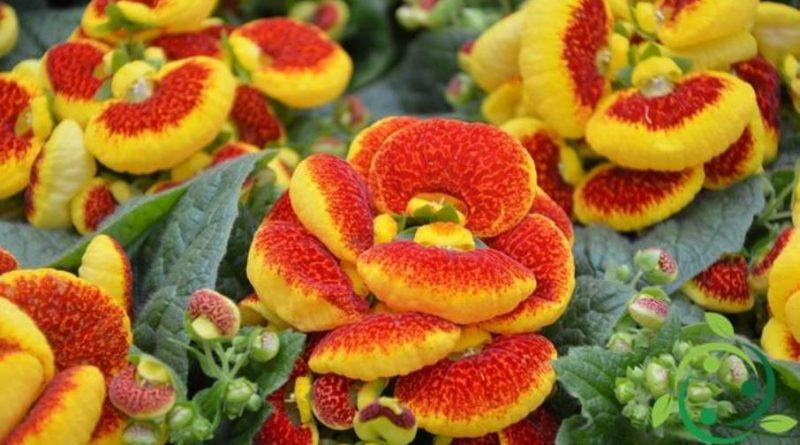 Come coltivare la Calceolaria