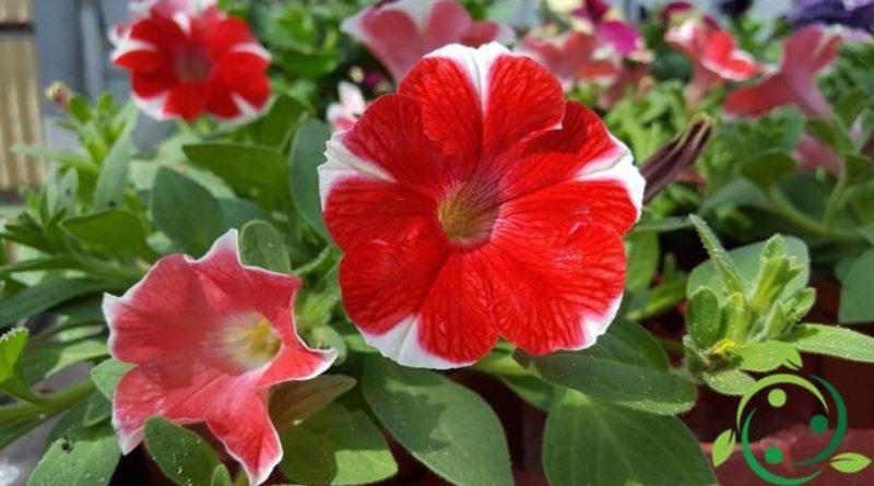 Come coltivare le Petunie: in vaso, in giardino, moltiplicazione ...