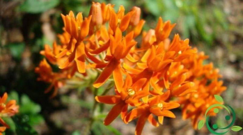 Come coltivare le Asclepiadaceae