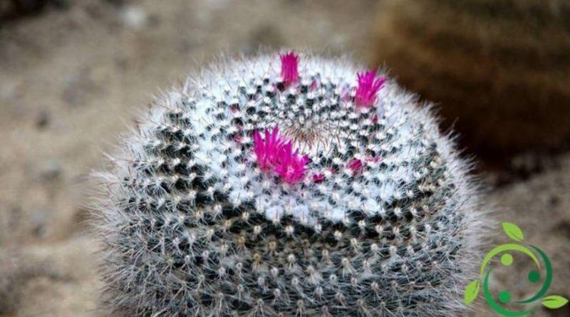 Come coltivare la Mammillaria