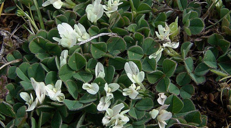 Trifolium subterraneum