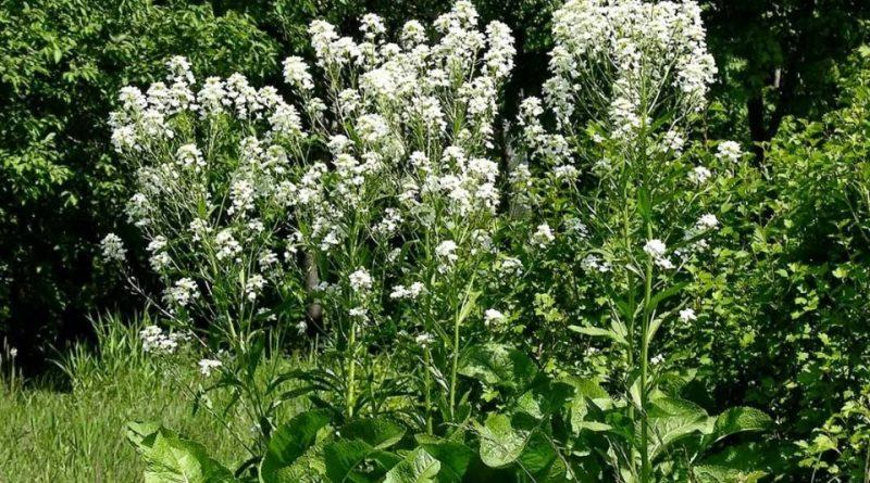Armoracia rusticana