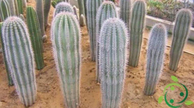 Come coltivare i Pachycereus