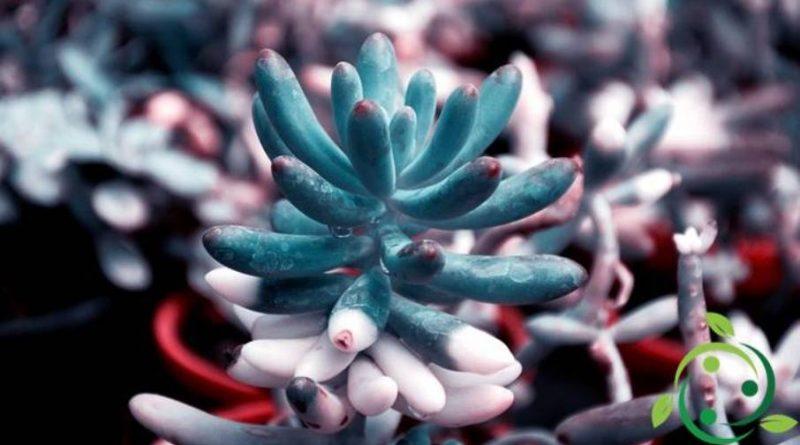 Come coltivare i Pachyphytum
