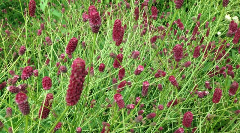 Sanguisorba officinalis