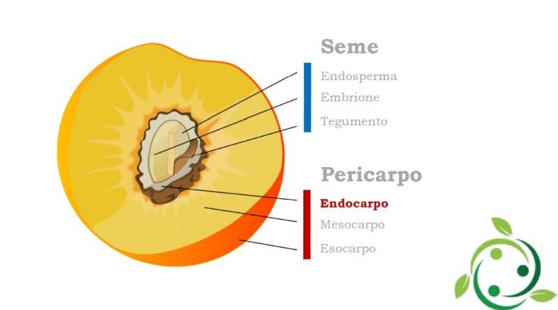 Endocarpo