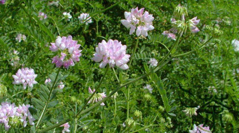 Astragalus propinquus