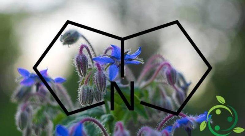 Pirrolizidina