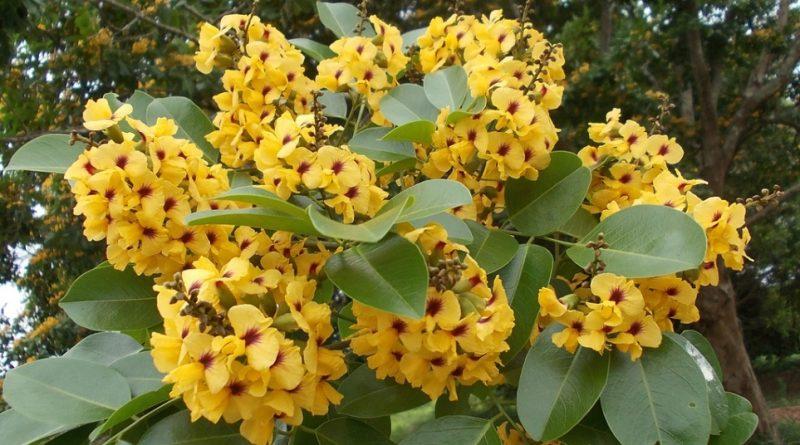 Pterocarpus santalinus