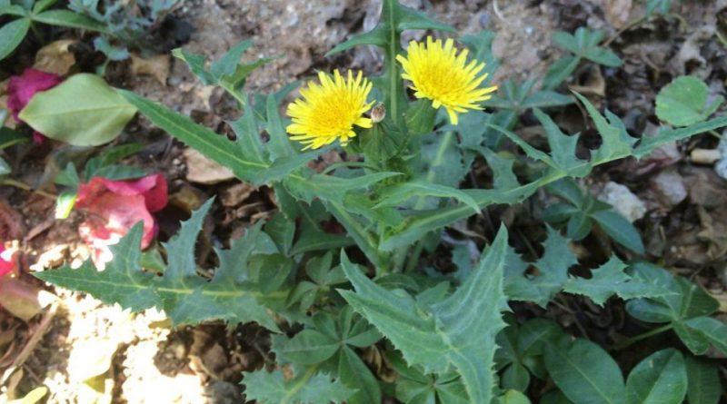 Lechuguilla o cerraja, Sonchus oleraceus