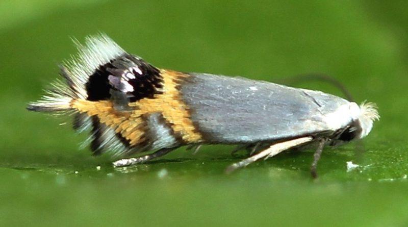 Leucoptera malifoliella