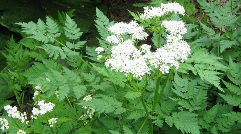 Italiano) Angelica sinensis: Sistematica, Etimologia, Habitat ...
