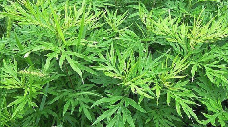 Artemisia verlotiorum