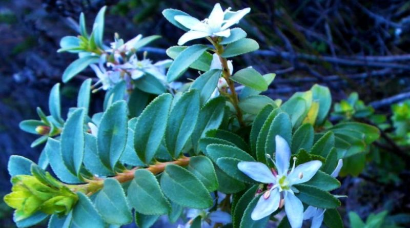 Agathosma serratifolia