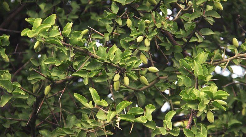 Balanites aegyptiaca