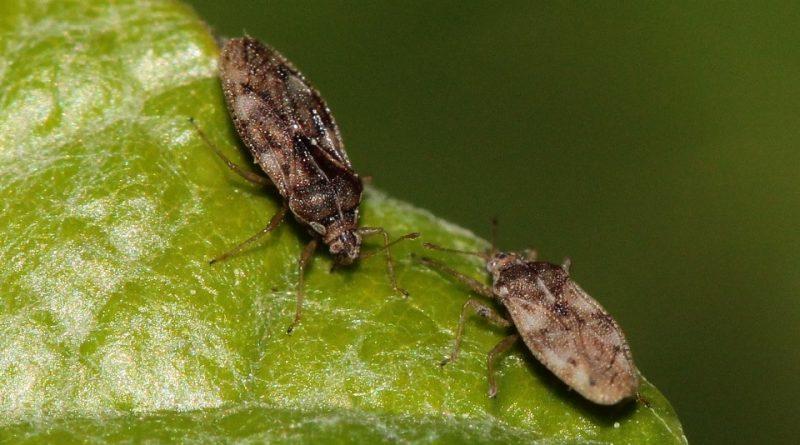 Monosteira unicostata