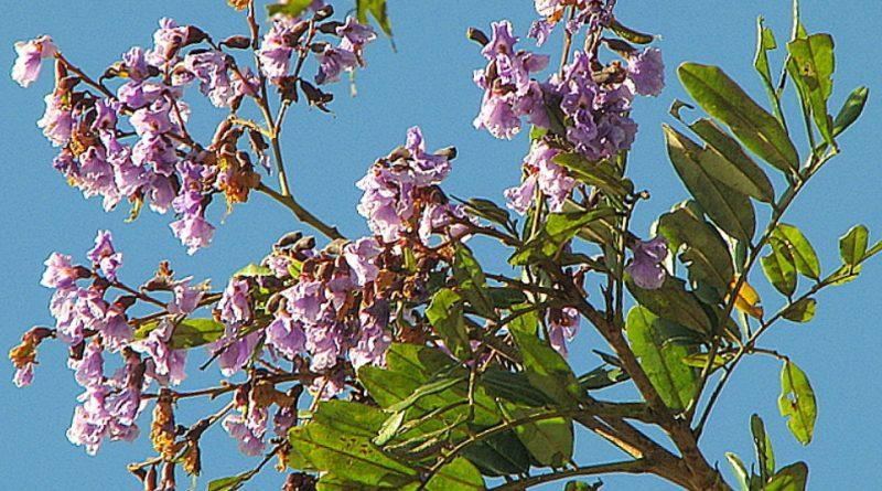 Bowdichia virgilioides