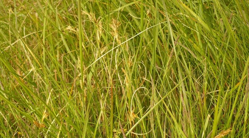Carex repens