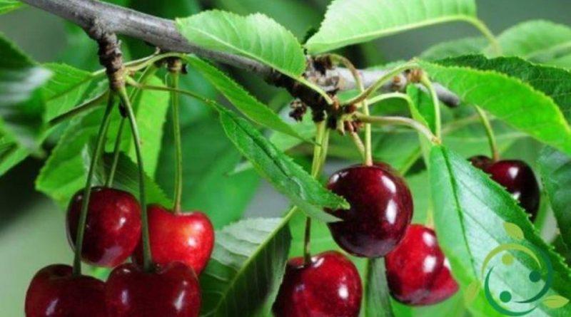 Come si prepara una talea di ciliegio