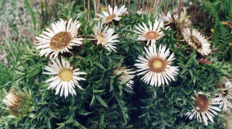 Carlina acaulis subsp. simplex
