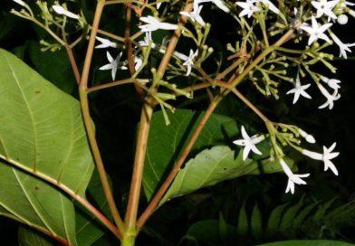 Ladenbergia oblongifolia