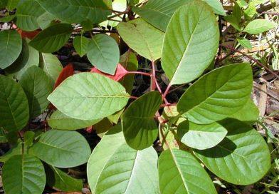 Cinchona pitayensis