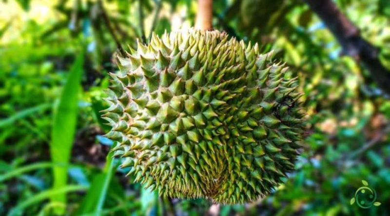 Come si coltiva il Durian