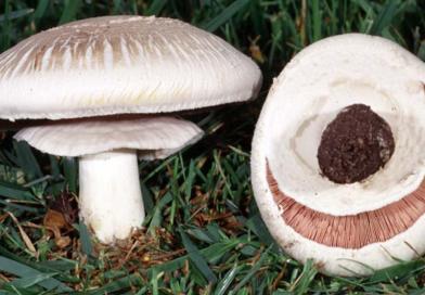 Agaricus xanthodermus
