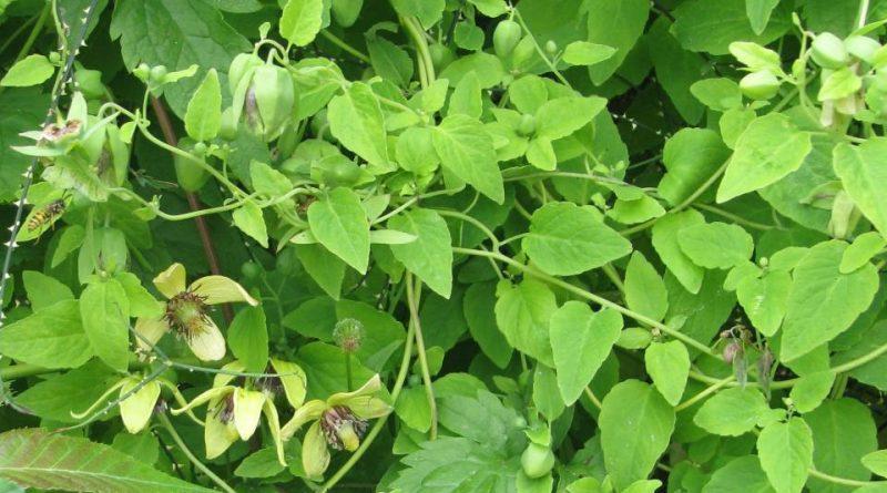 Codonopsis pilosula