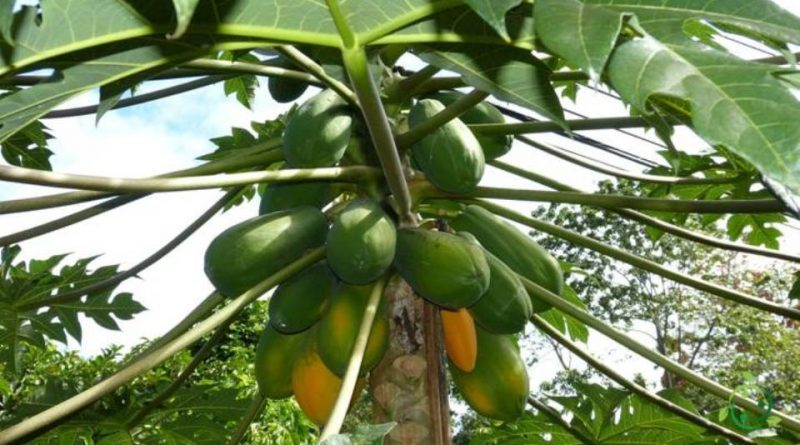 Come si coltiva la Papaya