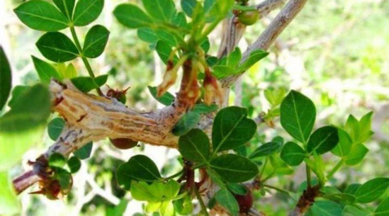 Commiphora gileadensis