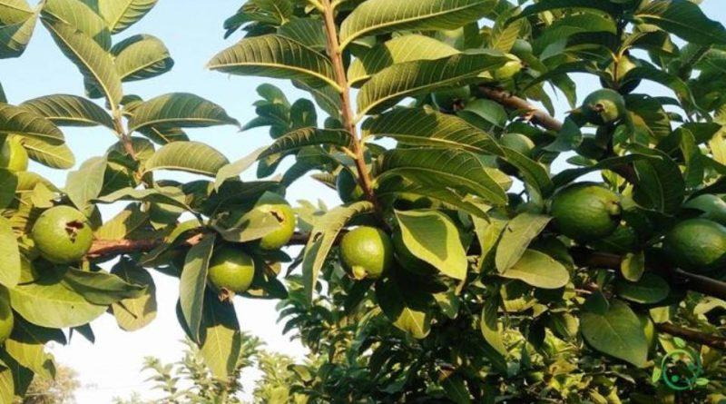 Come propagare la Guava