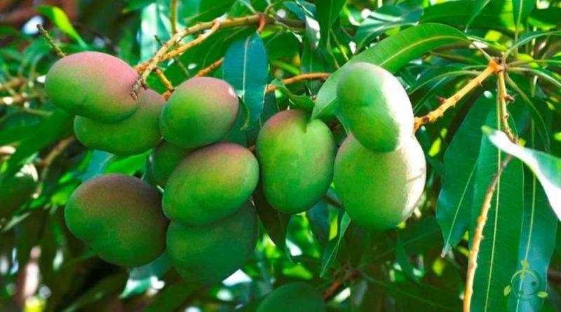 Come si propaga il Mango