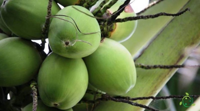 Come si propaga la palma da cocco