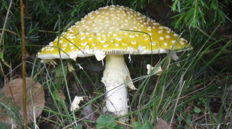 Amanita muscaria var. guessowii