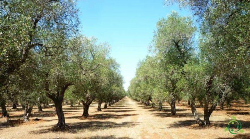 Quando potare l'olivo