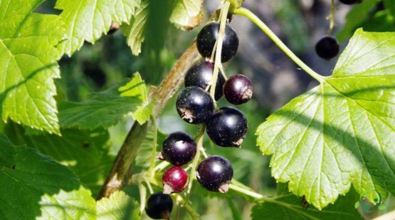 Come si propaga il Ribes nero