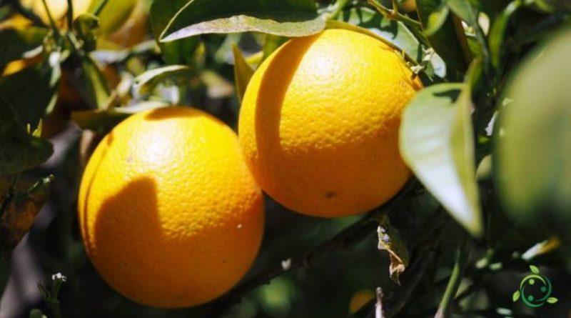 Quando si pota l'Arancio dolce