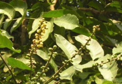 Dysoxylum loureiri