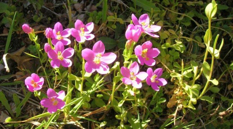 Centaurium cachanlahuen