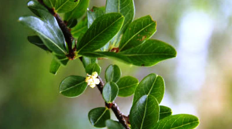 Erythroxylum vaccinifolium