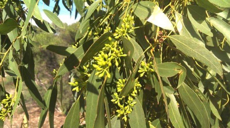 Eucalyptus odorata