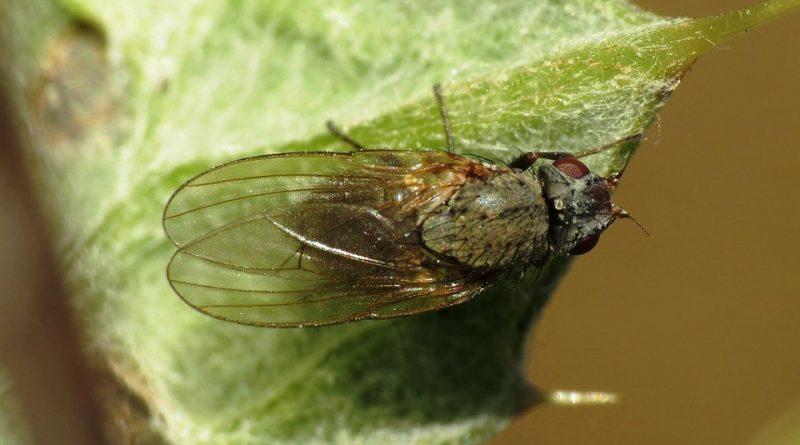 Agromyza apfelbecki
