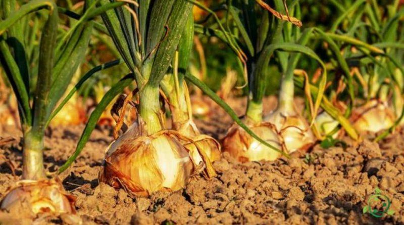 Come coltivare la cipolla in maniera biologica