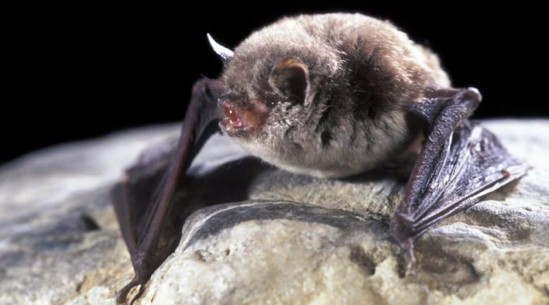 Myotis capaccinii